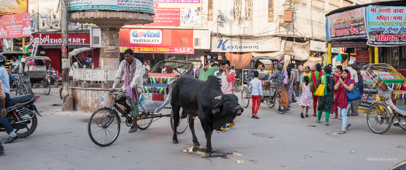 Cows everywhere, Varanasi