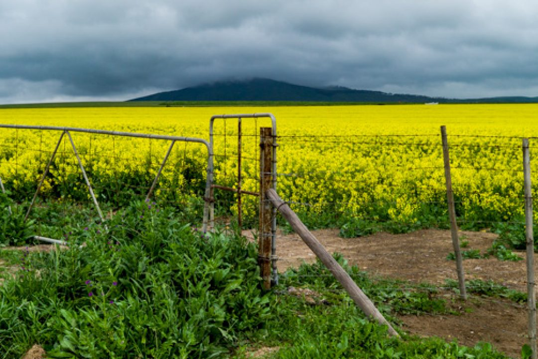 #507. Canola capers