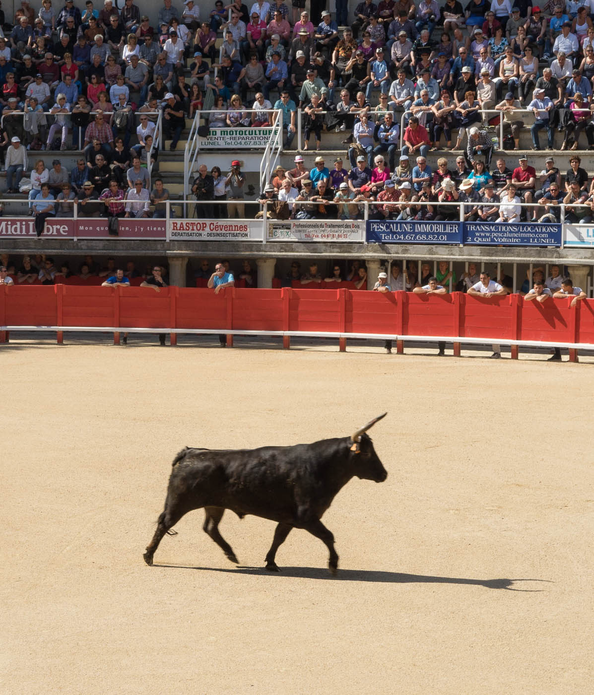 A camargue bull enters the bullring in Lunel, Provence