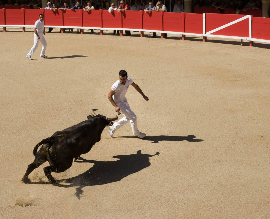 Favier, a famous raseteur, faces a bull in Lunel's bullring during a Course Camarguaise