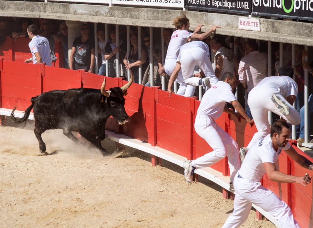 A bull chases a whole group of rasteurs in Lunel arena durig a course camarguaise