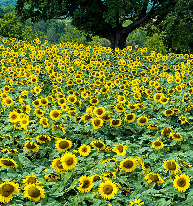 Sunflowers - (c) Michael Reichmann