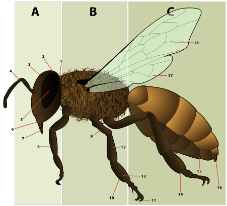Figure 6: diagram of the morphology of a female bee