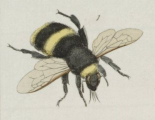 Figure 5: an 18th century painting of a bee