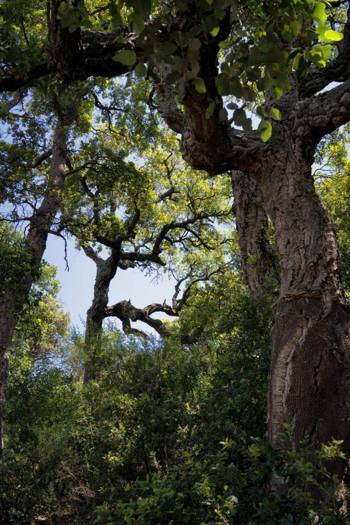 Very old cork oak trees on the Rocher de Roquebrune in Provence
