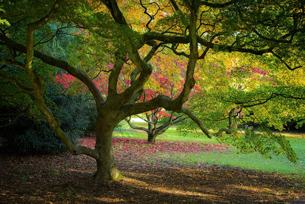 Reds, greens and yellows in Westonbirt arboretum, Tebury, England.