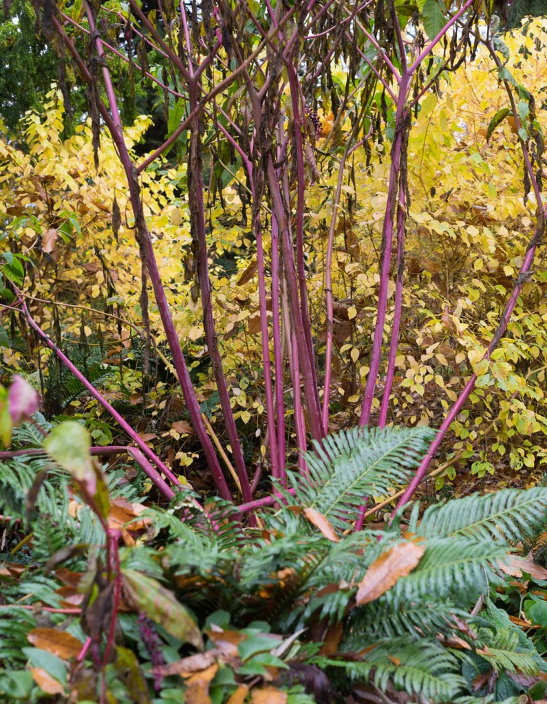 Pnk stems of giant rhubarb against the deep green foliage of a fern and bright yellow leaves in Batsford arboretum, near Moreton on marsh