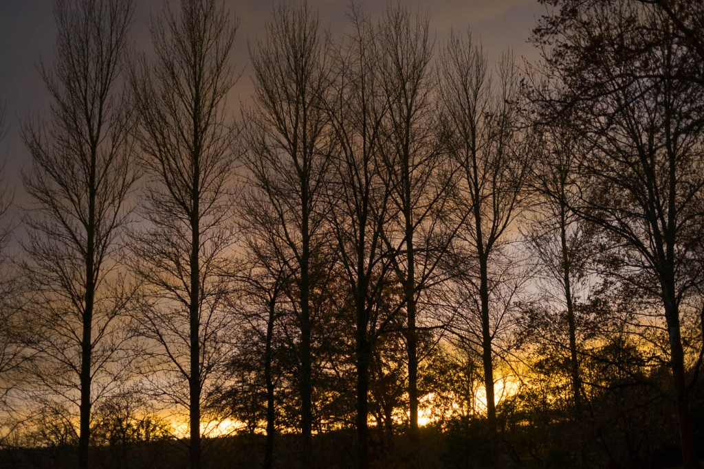 the tall trees of Batsford arboretum at sunset