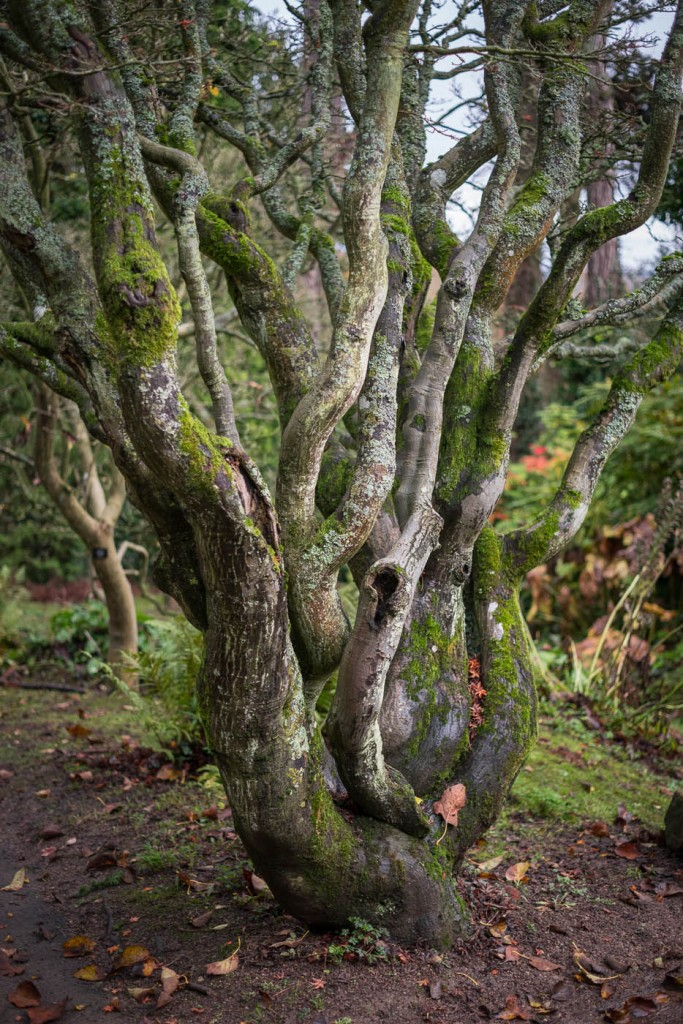 the many trunks of a tree in Batsford arboretum, near Stratford upon Avon, produce a mystorious effect