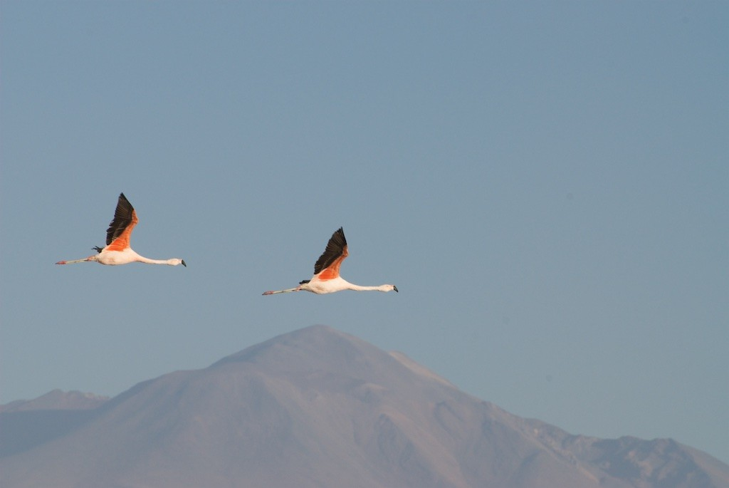 Flamingoes flying in the Chilean sky