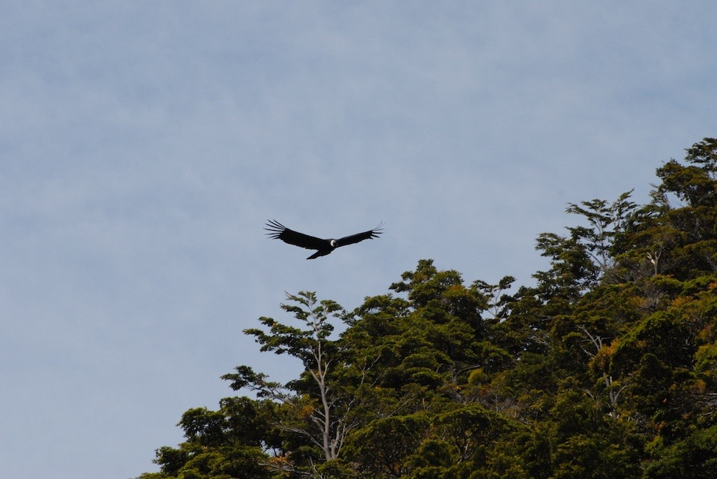 A condor flies over photographers in Souther Chile