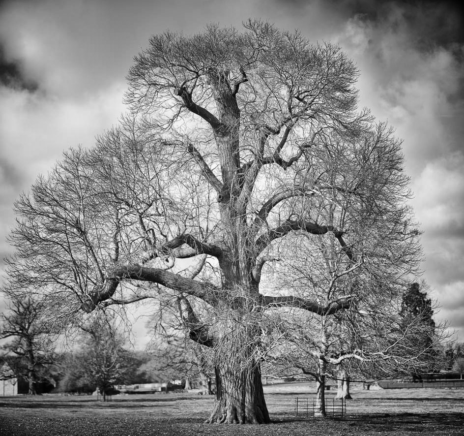 Cotswold tree - Sony A7r & Zeiss OTUS 85/1.4 (2-frame panorama)