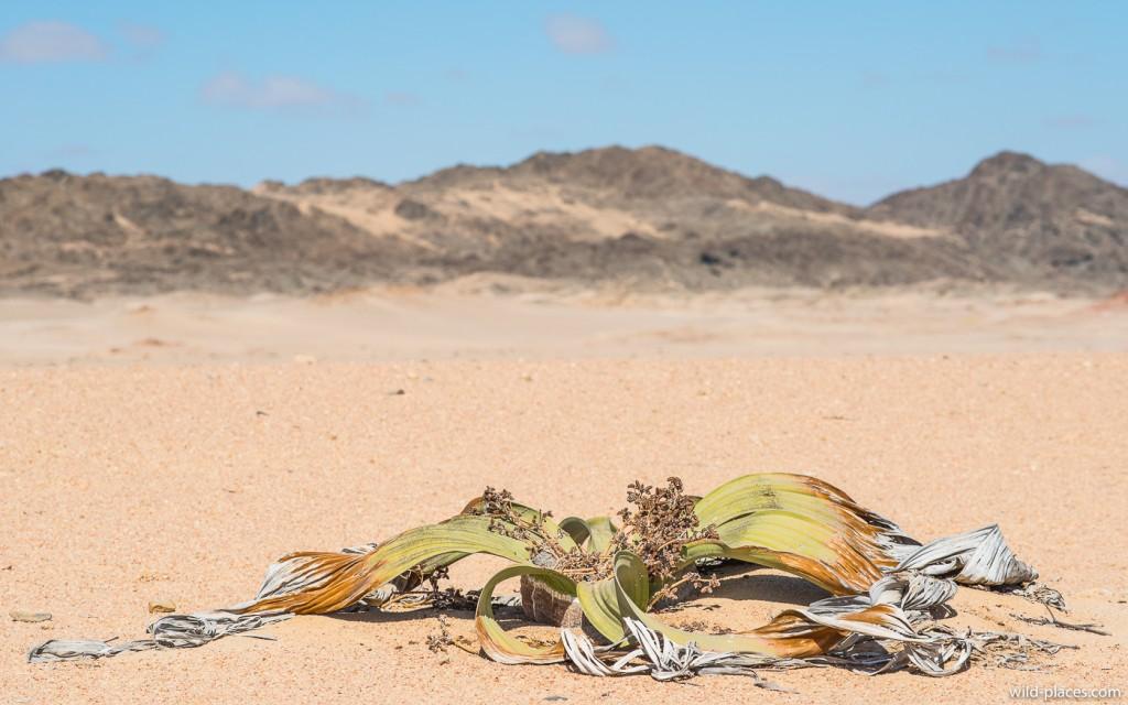 Welwitschi Trail - Zeiss Apo-Sonnar 135/2