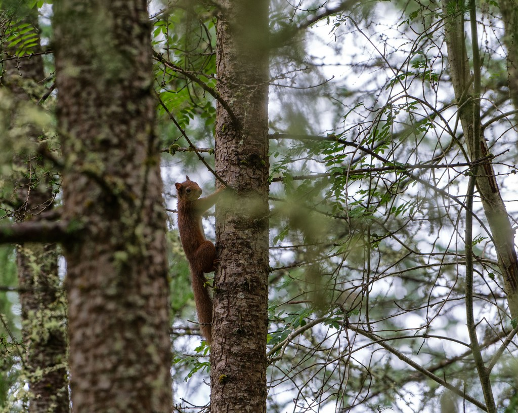659DSC0166 Red Squirrel, Kirkton Glen