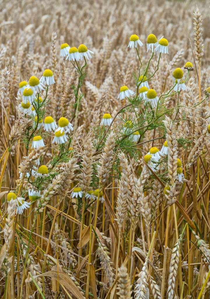664DSC1021 Cornfield, Blackdub, Stirling