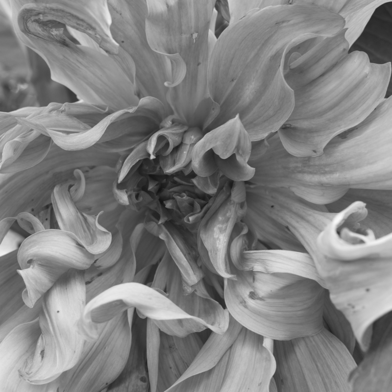 The monochrome heart of a flower, photographed using a Sony A7rII & Zeiss OTUS 55/1.4