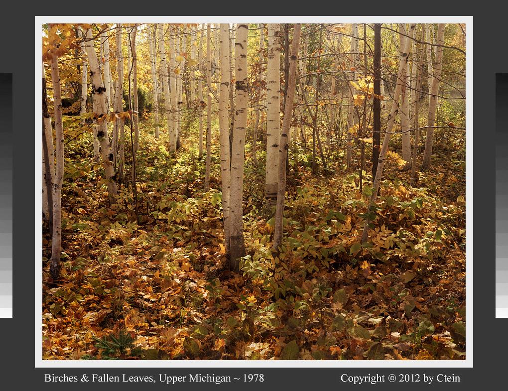Birches and fallen leaves (c) Ctein