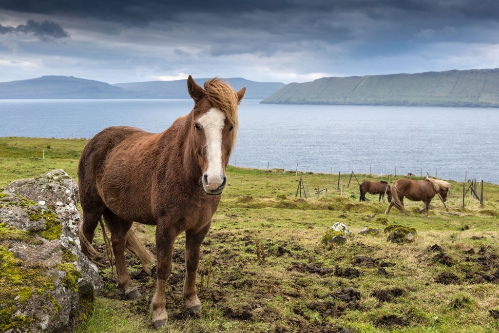 673DSC3422 Faroese Ponies, Kirkjobodur, Stremoy