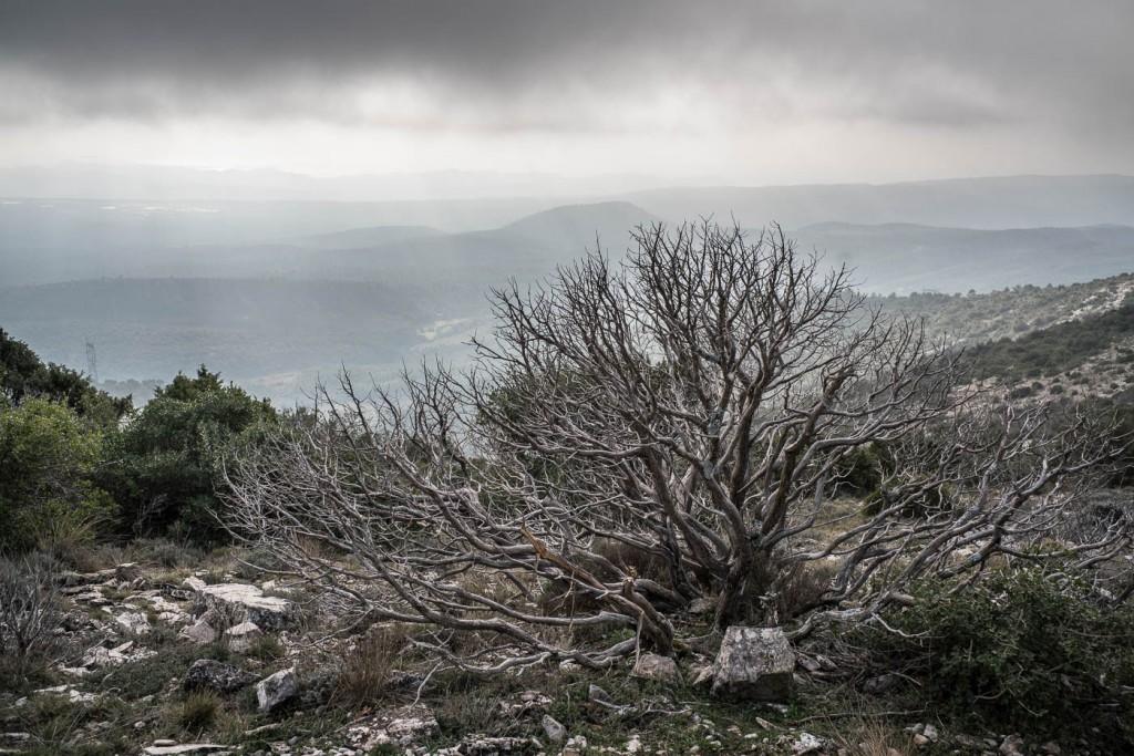 A beautiful dead juniper bush in the Sainte-Baume hills of Provence, France