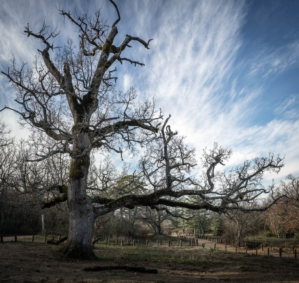The great oak at the foot of Sainte Baume in Provence