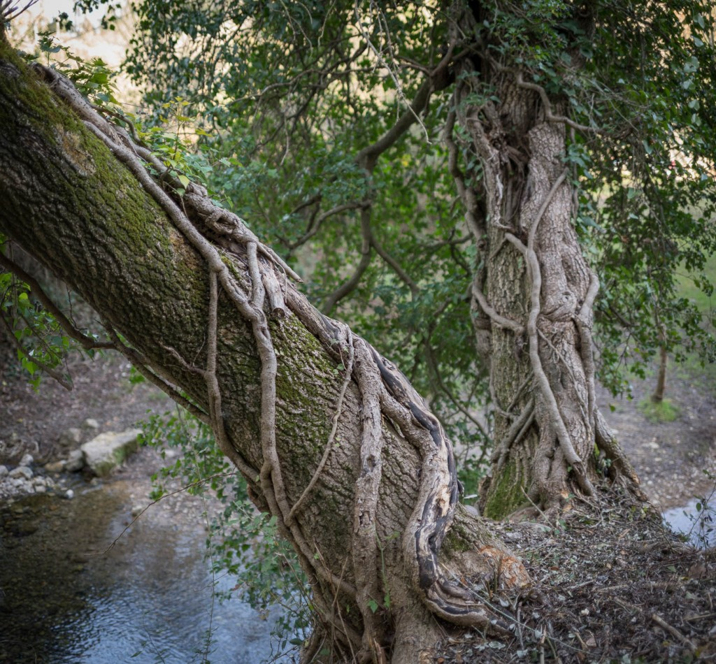 Oak trees and brook at full aperture with a Zeiss Loxia 35 on a Sony A7r2
