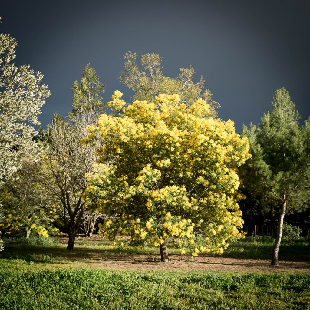 Mimosa tree and palette of greens in stormy light. Sony A7r2 & Zeiss Loxia 35/2