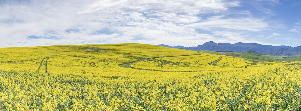 Canola fields - Cathy Bell