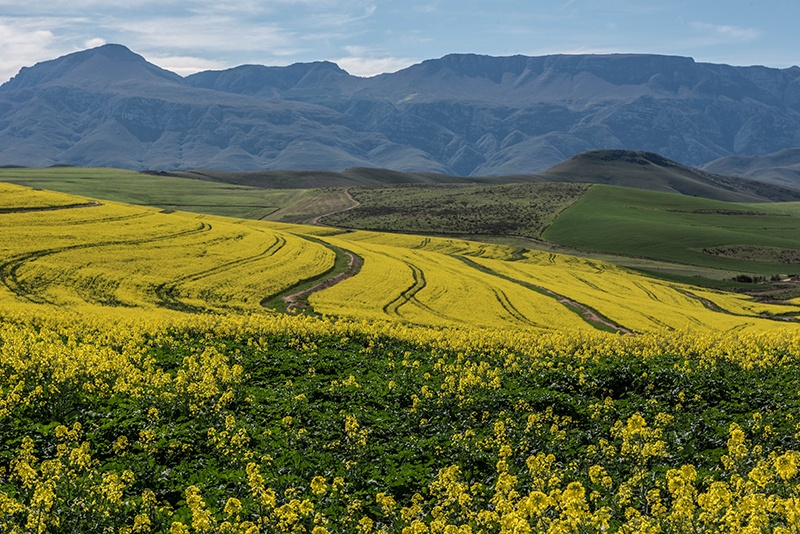 Canola and the Riversonderend mountains - Marleen le Grange