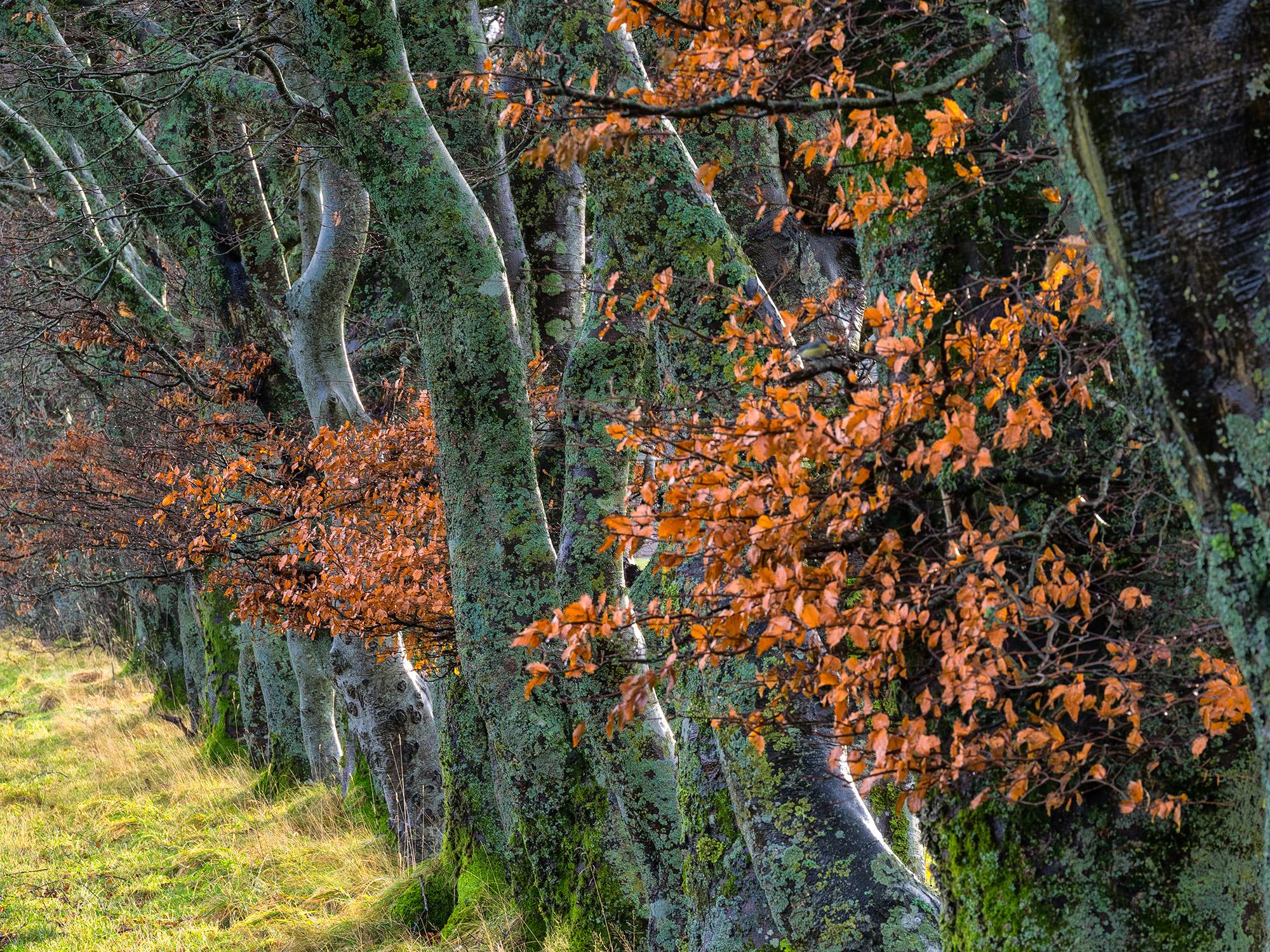 Beech trees, Isle of Mull - Bob Hamilton