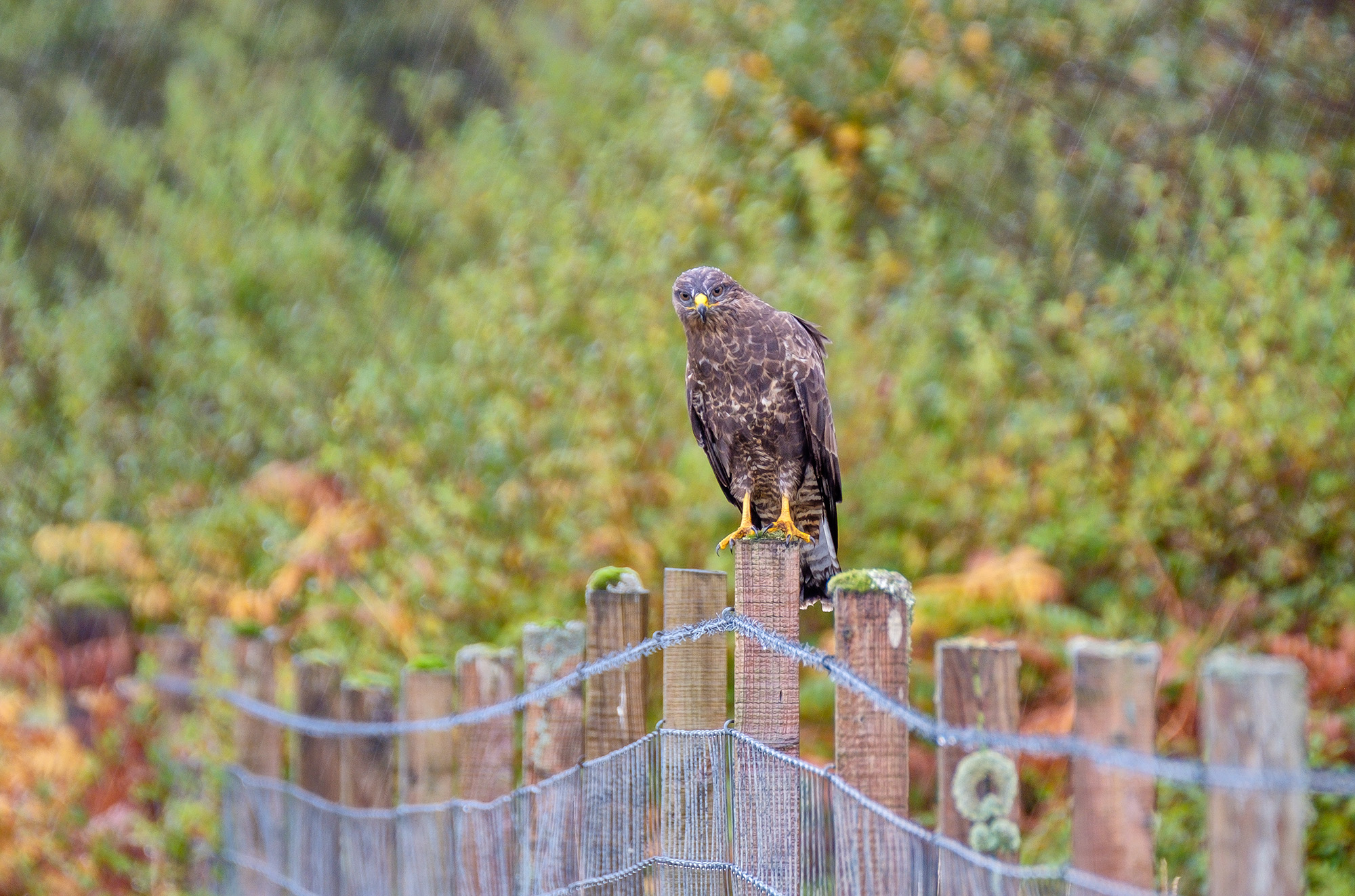Common Buzzard, Loch Scridain, Isle of Mull, Scotland - Bob Hamilton
