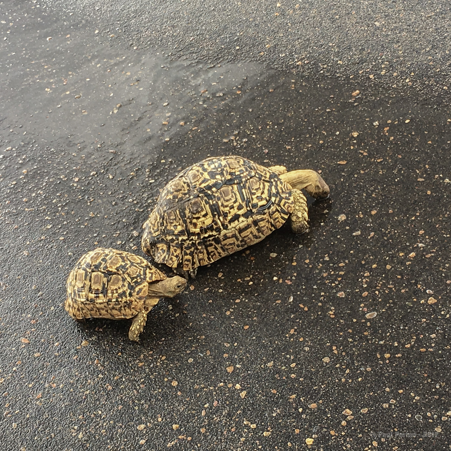 Leopard tortoises drinking from puddles caused by a recent rain shower.