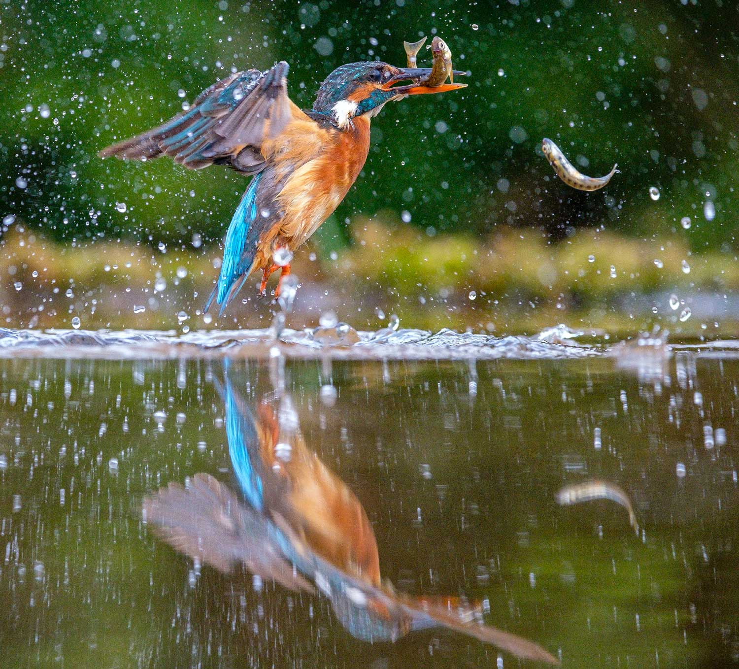 Diving Kingfisher, River Tarff, Dumfries and Galloway, Scotland - Bob Hamilton