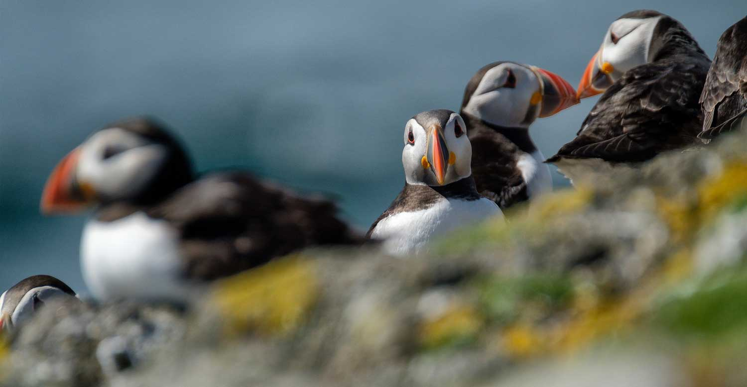 Puffin, Isle of May, Outer Firth of Forth, Scotland - Bob Hamilton