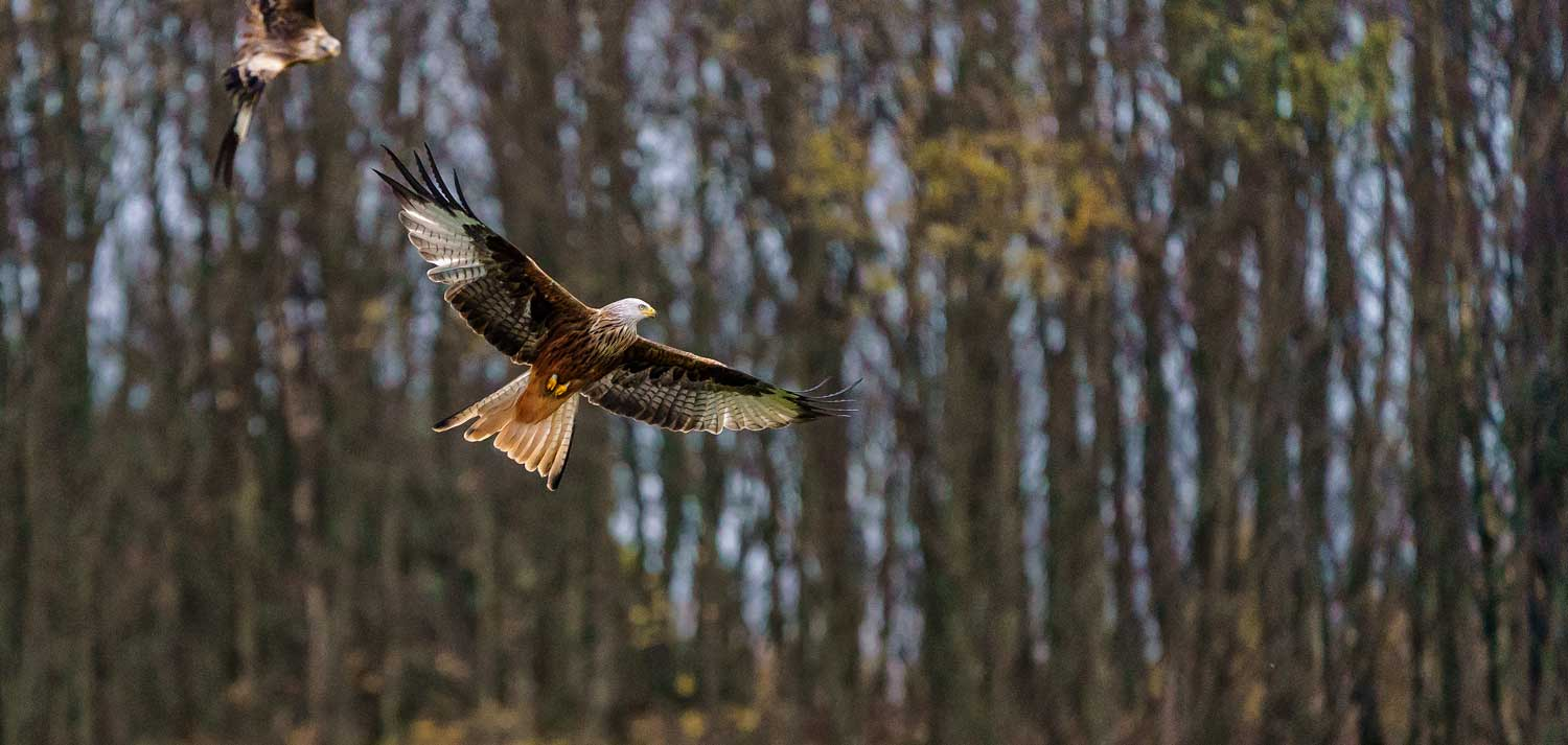 Juvenile Red Kites, Southern Highlands, Scotland - Bob Hamilton