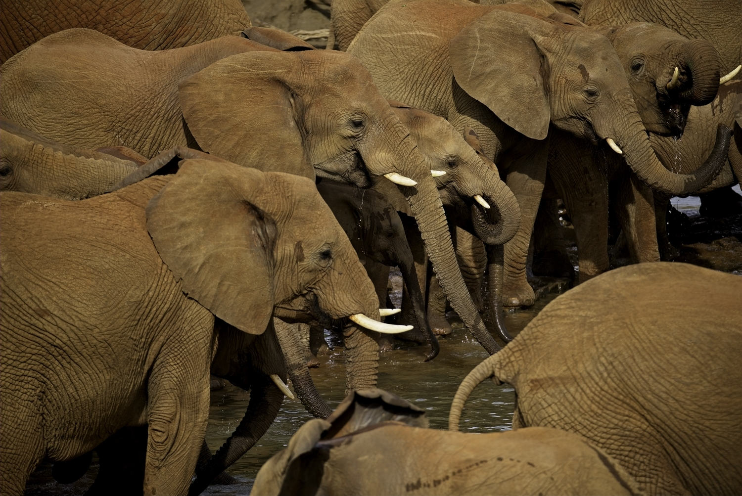 Some of a 100-strong group of elephant drink in the Madikwe river