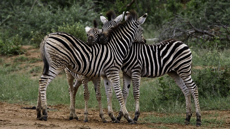 Adolescent zebra