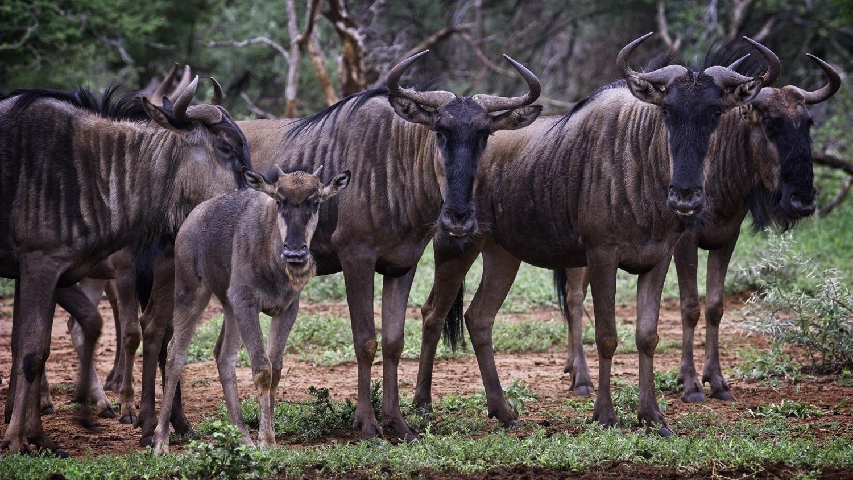 Wildebeeste (gnus)