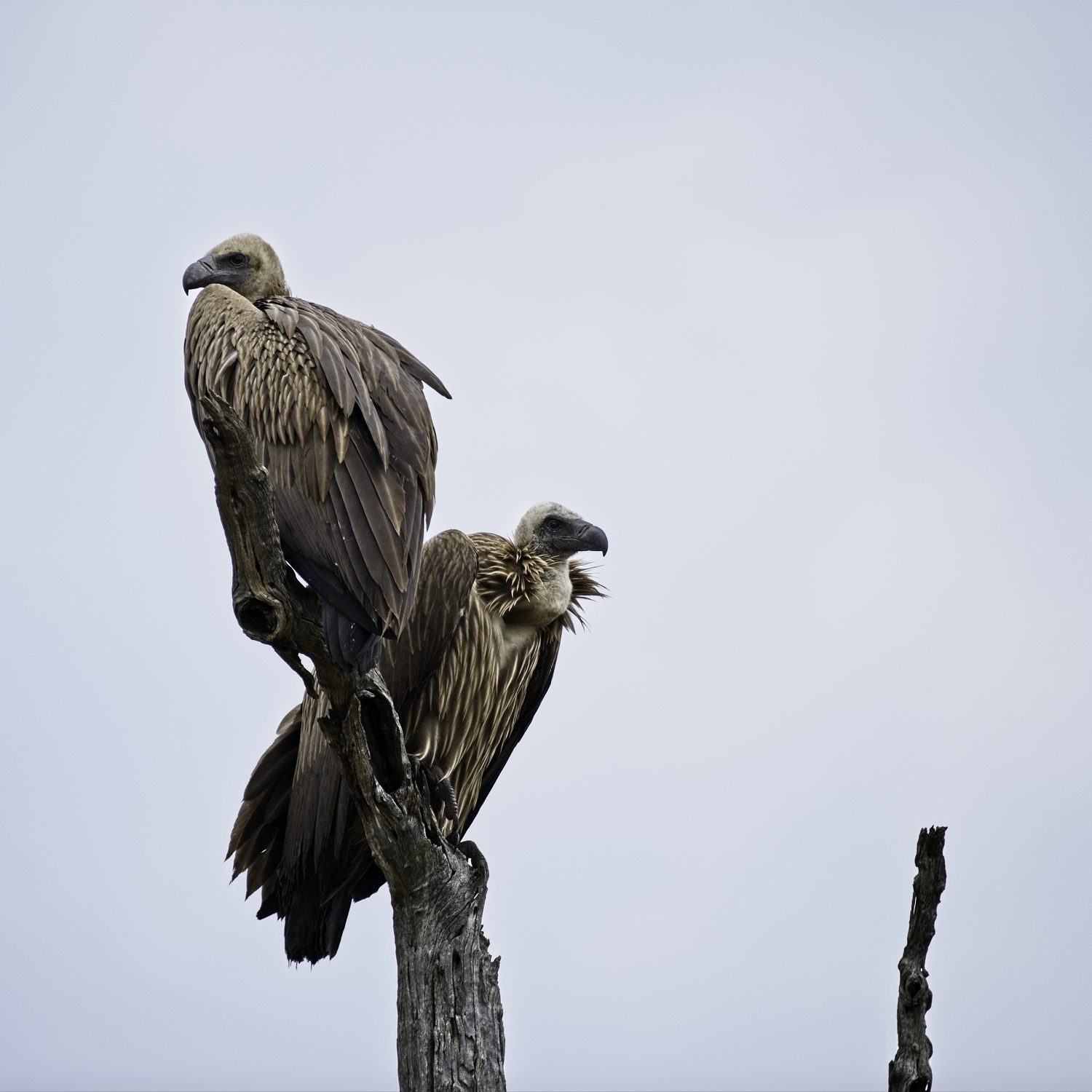 Two of a group of about a dozen vultures waiting for the apex predators to finish before picking the carcass