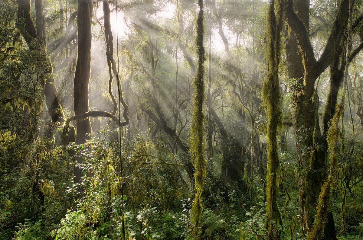 Jungle Rays