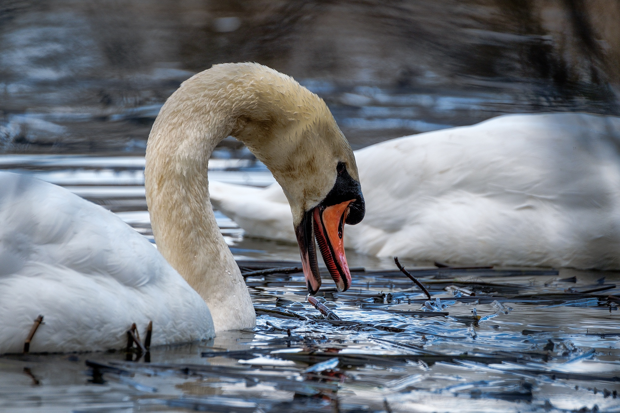 Mute Swan, Clyde Valley, Scotland XH1 + 100-400mm