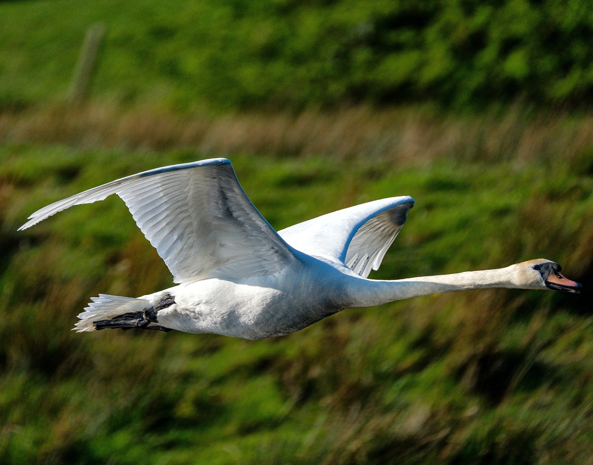 Mute Swan in Flight, Clyde Valley, Scotland - XH1 + 100-400mm