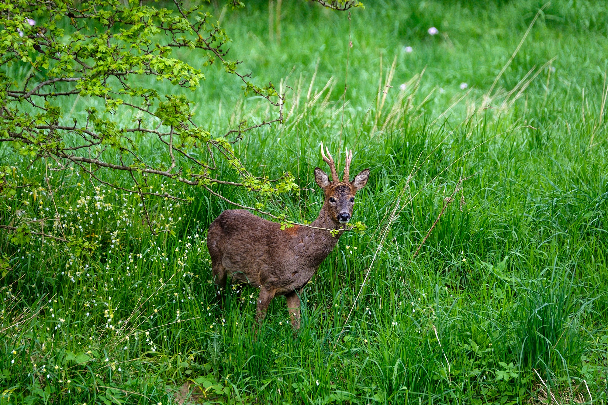 Roe Deer Buck, Clyde Valley, Scotland - XH1 + 100-400mm