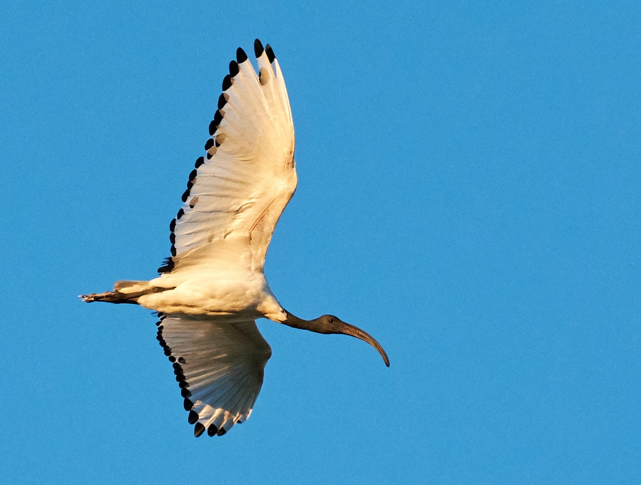 Sacred Ibis. Nr Paarl, South Africa