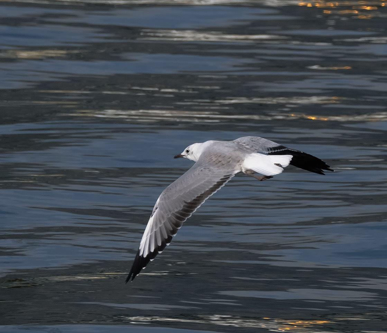Hartlaub's Gull, Cape Town