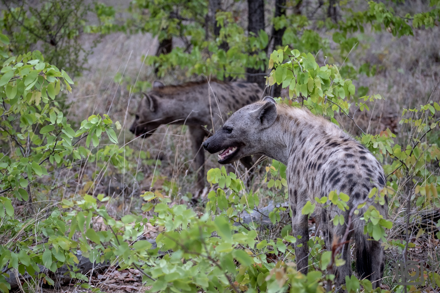 High tension hyena - this family group of 6/7 animals was squabbling about a hind quarter all that was left of a dead zebra after the alpha predators had had their share