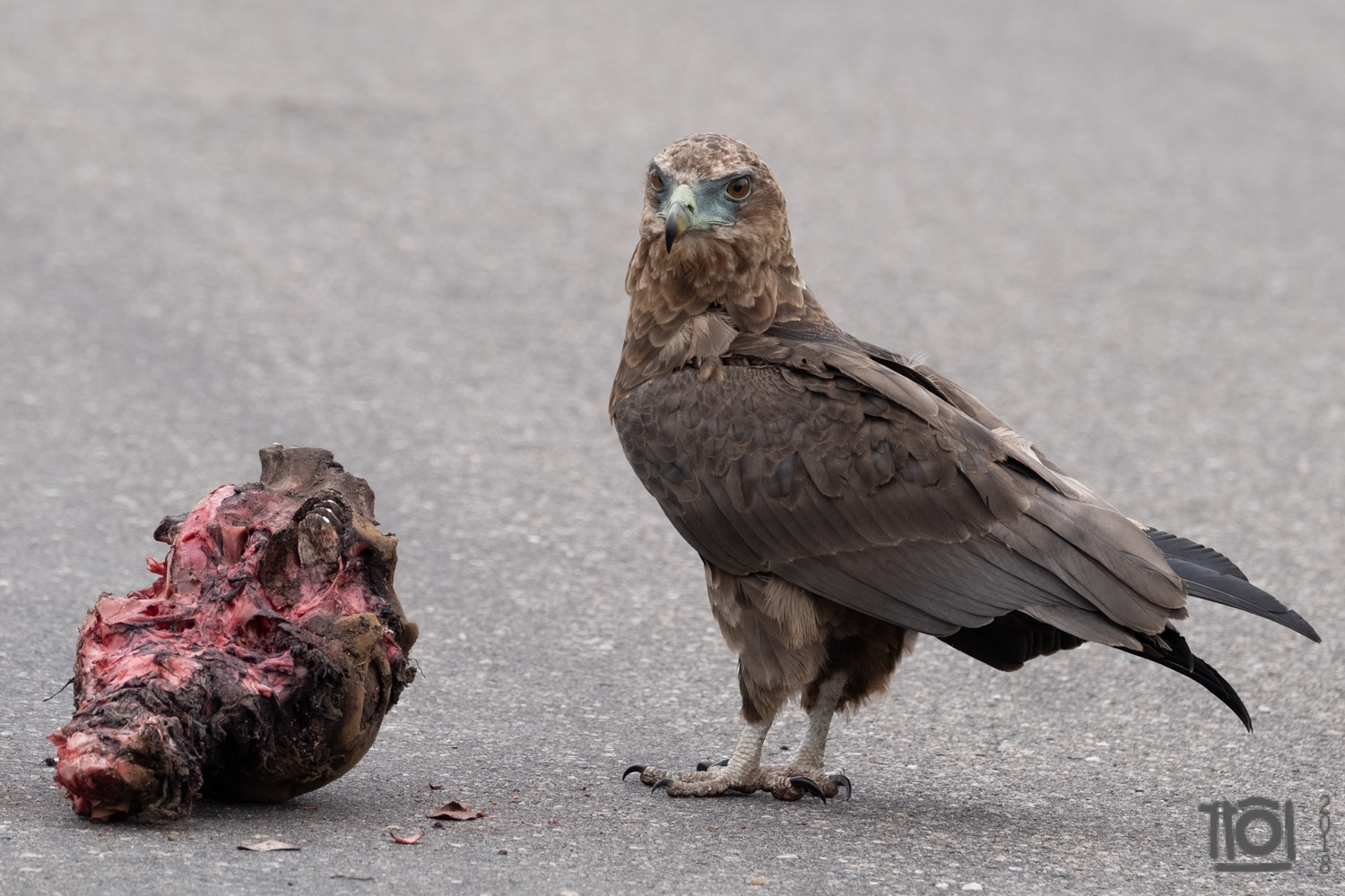 The jury is out - no agreement whether this is a juvenile Bateleur, or a Tawny Eagle