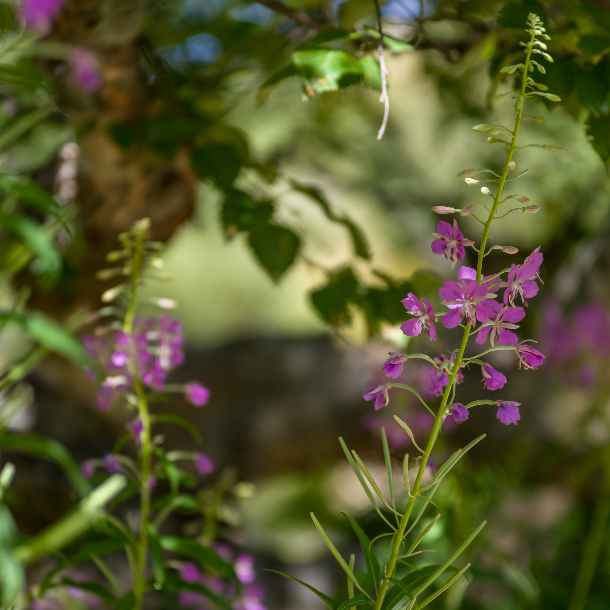 Phr collection alpine plants