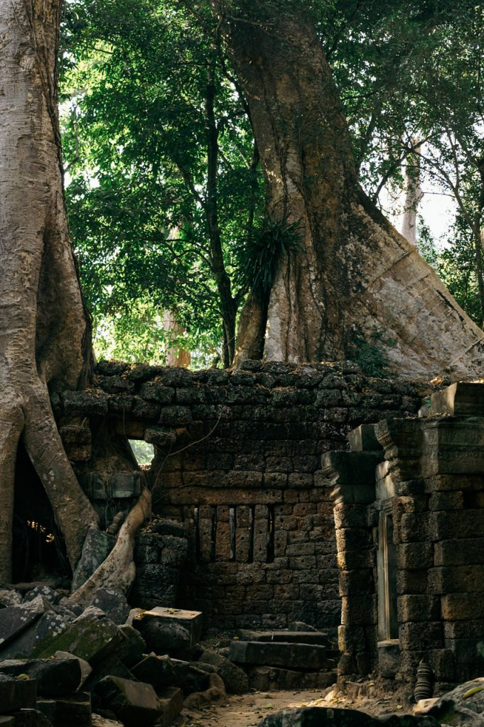Wall with trees inside Ta Prohm, Angkor